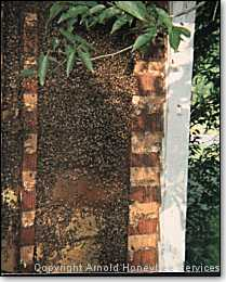 bee colony in outside wall